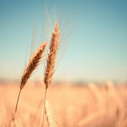 A few good reasons to not fear gluten…